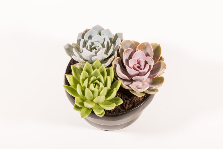 Echeveria Trio Bowl