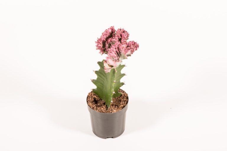 Euphorbia Lactea Grafted