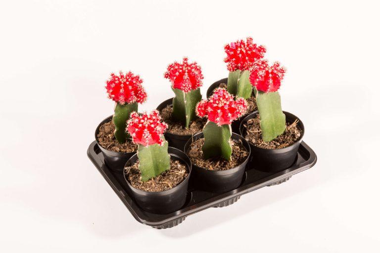 Gymnocalycium Mihanovichii Red